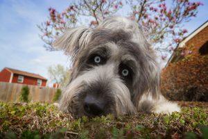 Bixby, a blue-eyed sheepdog mix from Virginia Beach
