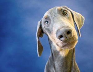A big nosed Doberman dog