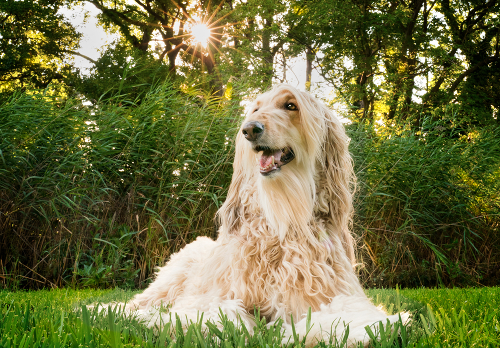 Skye Katherine, and Afghan hound, is the muse behind Windhound Photography.