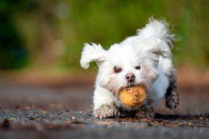 White dog grabs a tennis ball