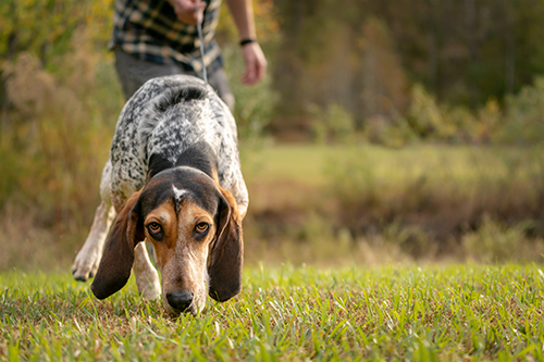 hound dog on a scent trail