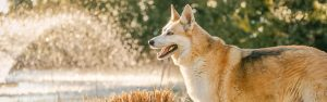 hsuky, dog, water,