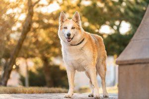 a senior husky dog in golden sunlight