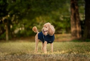 Rugby, an apricot poodle lives in Norfolk, VA. He's the top dog at Windhound.
