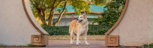 A husky mix dog in downtown Norfolk Virginia