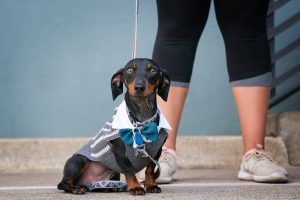 Dachshund dog out on the town for his portrait