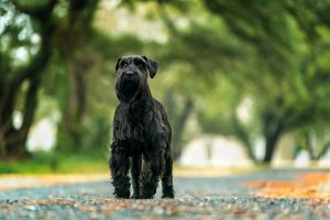 A standard schnauzer poses for the camera in Norfolk, VA