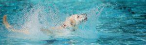 Labrador retriever goes for a swim