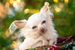 A senior Chihuahua gazes into the camera