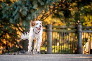 Happy running spaniel