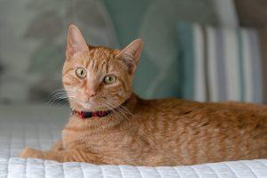 Handsome cat poses for a professional portrait in Chesapeake, VA