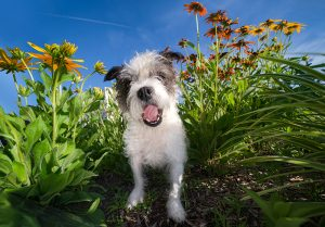 Terrier dog sits among the flowers