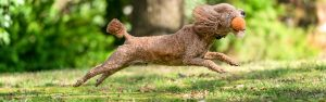 Poodle dog with a ball