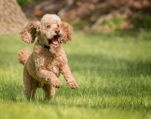 Happy poodle running through grass