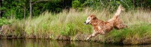 A golden retriever dog leaps into a lake