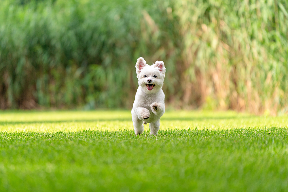 small white dog runs through and open field