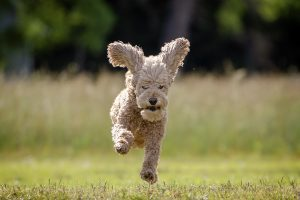 A poodle flies through the air in Gloucester, VA