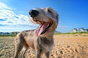 An elegant Irish Wolfhound smiles for the camera in Norfolk, VA