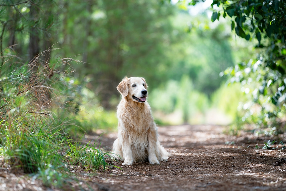 Golden retriever in a green forest