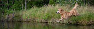 A golden retriever dog leaps into a lake