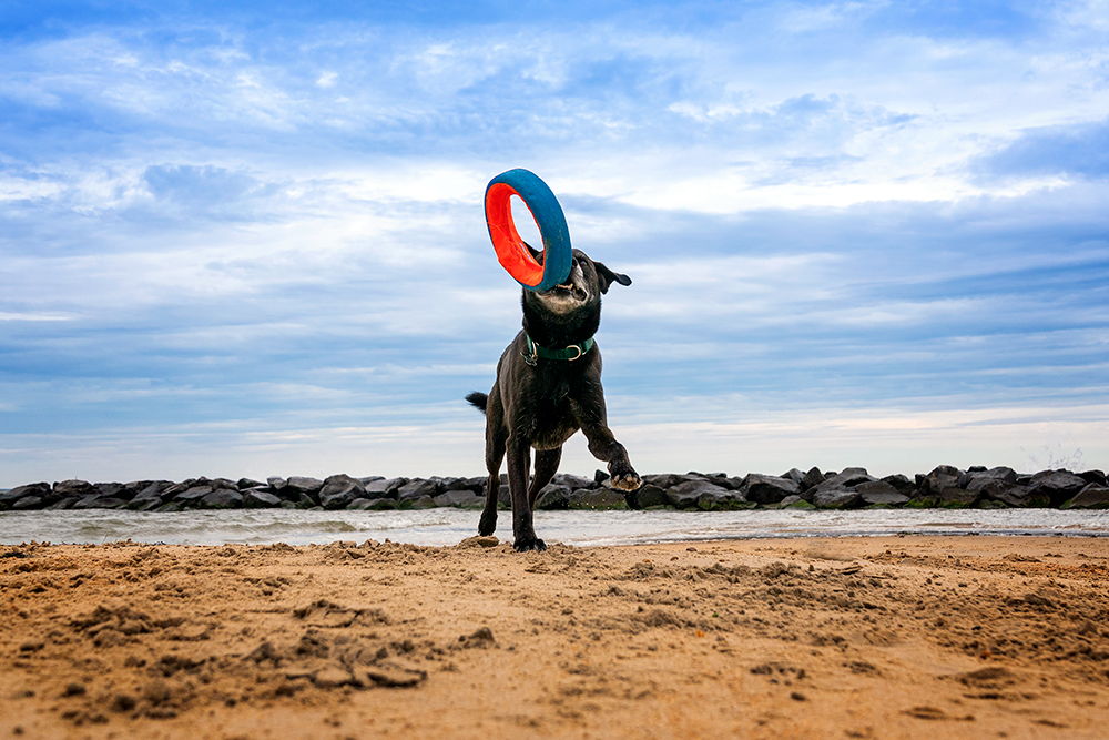 A senior dog plays with his toy on a beach in Norfolk, Virginia