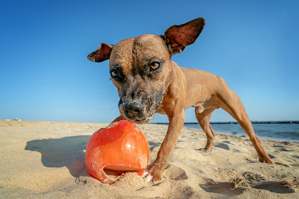 A pitbull terrier plays with a ball on a Chesapeake Bay beach
