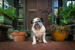 bulldog sits on a street in Norfolk, VA