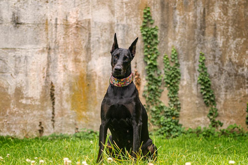 Doberman pinscher poses in front of a garden wall