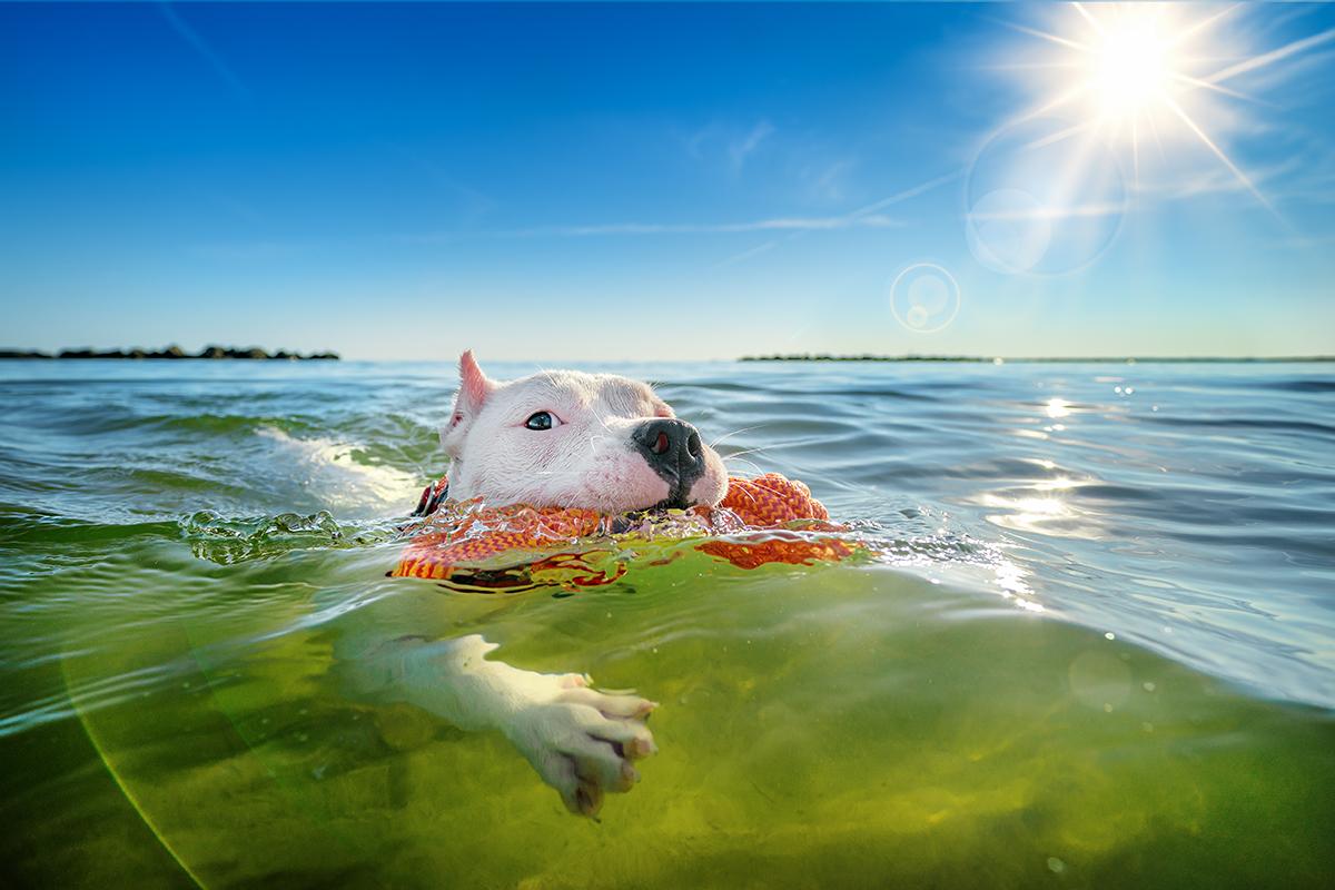 Three-legged dog swims in the Chesapeake Bay