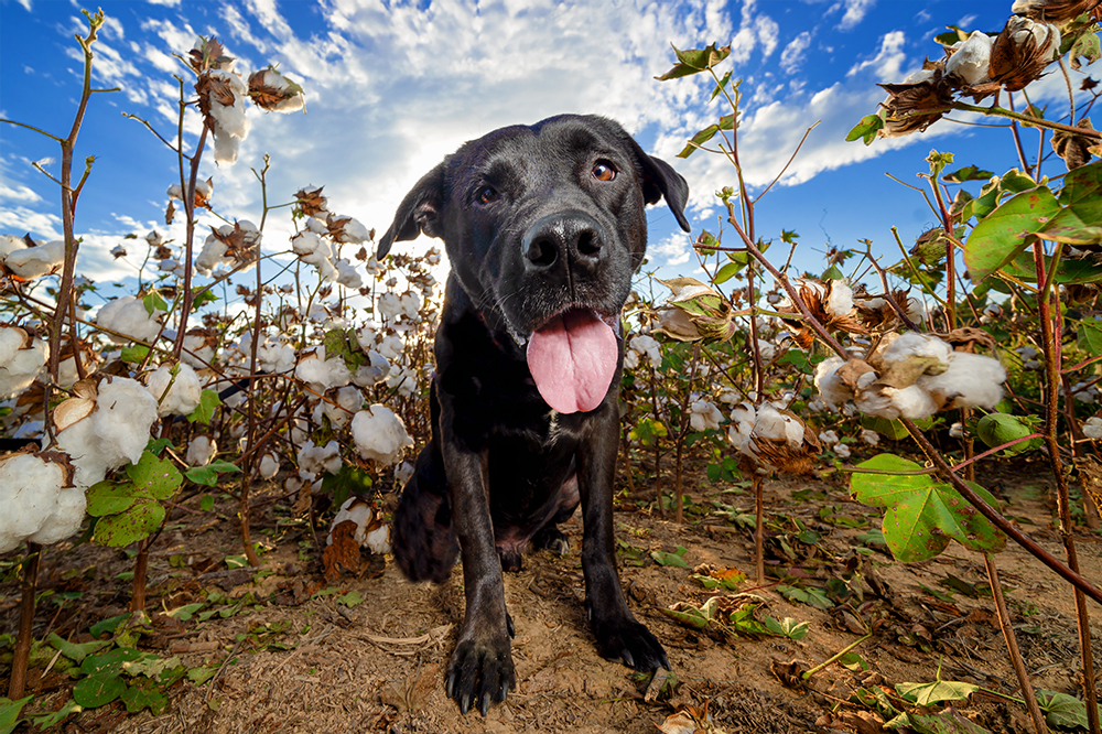 Caruso, poses on a sunny fall day in a cotton field in North Carolina.