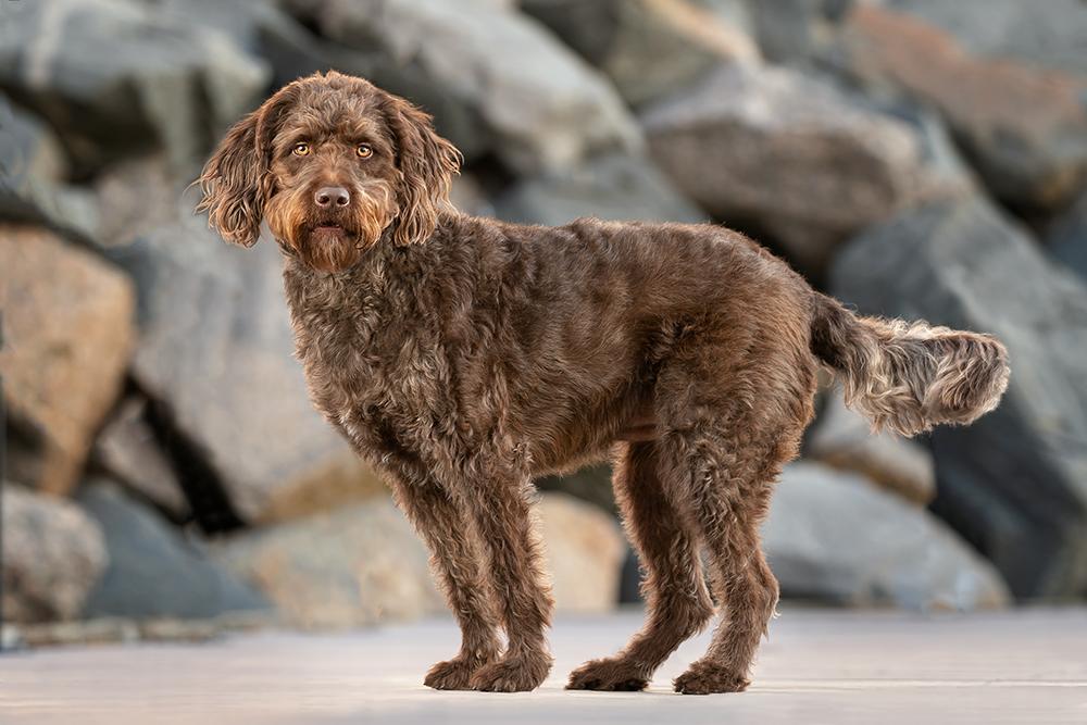 A golden-eyed doodle dog