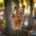 In the woods with Joey, a small senior dog