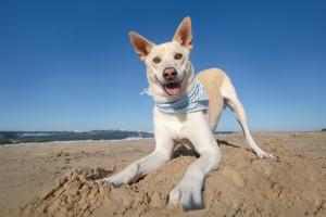 Maggie, a Carolina dog, invites you to play