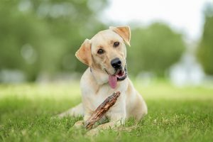 Luke, a yellow labrador retriever, chews on a stick