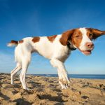 A Brittany Spaniel flashes a smile at the beach