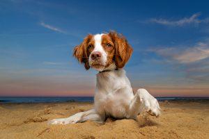 A Brittany spaniel dog at twilight in Virginia Beach