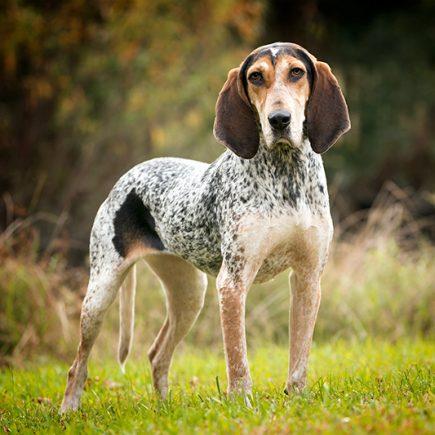 Hound dog Mellie