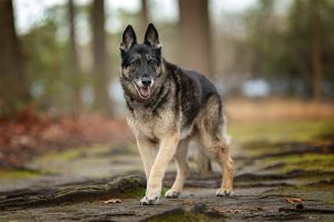 Cheyenne, a senior German Shepherd along a wooded trail.