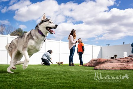Arte,mus the husky checks out a new doggy daycare
