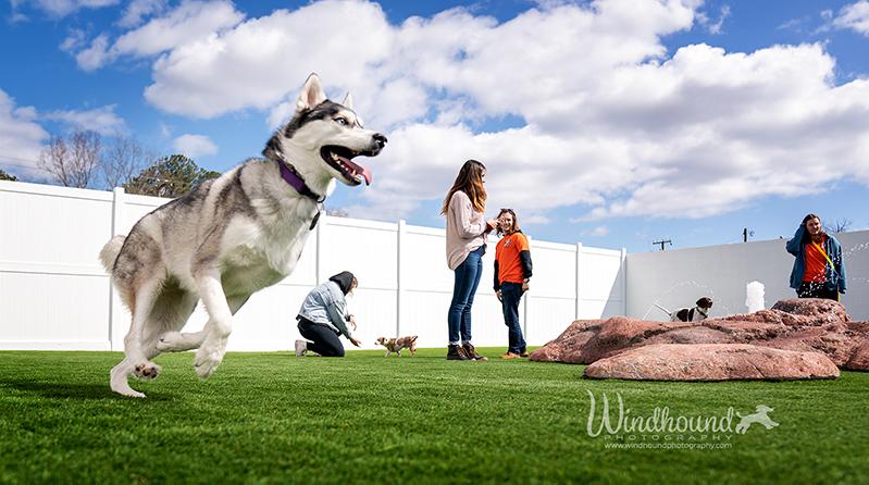 Arte,mus the husky checks out a new doggy daycare