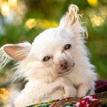 A sweet senior Chihuahua
