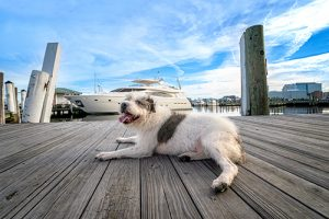 A dog relaxes on a pier in Portsmouth, VA