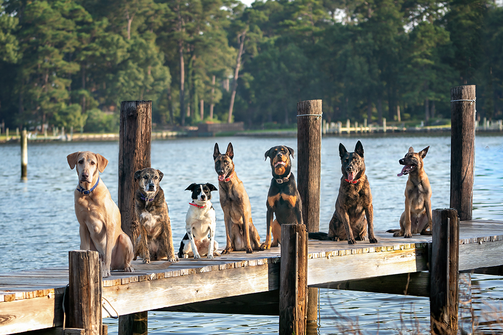 7 dogs posing on a bayside dock