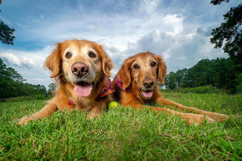 Two gorgeous golden retrievers strike a pose