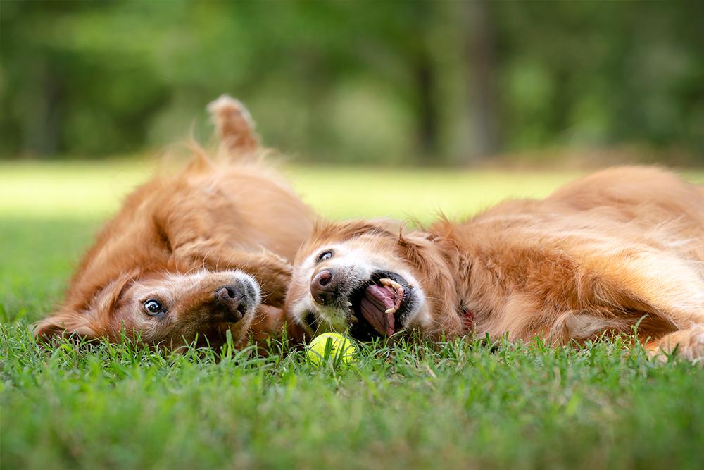 "Two golden retrievers play ""lazy"" tennis"