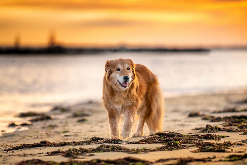 Senior dog, Mingo, poses on the beach at sunrise