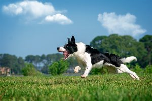 Parlay, a border collie, launches into a run