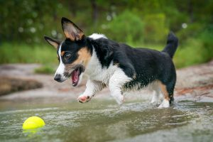 A corgi puppy pounces into the water