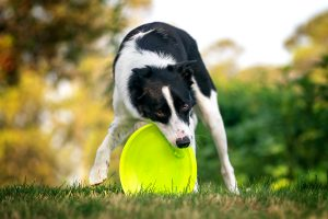 A border collie plays with her flying disc