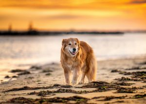 Mingo, a recently rescued golden retriever experiences a sandy beach for the first time.